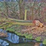 Biberspuren: Gefällter Baum - Quelle: wikipedia, Autor Alupus (GNU)